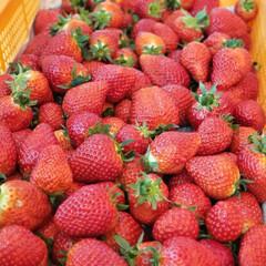 おでかけ/お気に入り/いちご お気に入りの苺園での摘みたての苺♪