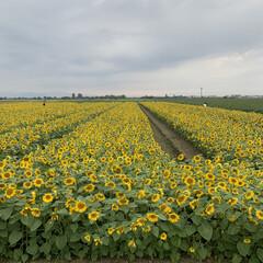 孫/元気/夏の終わり/夏の象徴/花/空 向日葵🌻畑があると言うので、孫たちと写真…