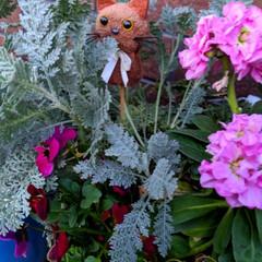 オイル缶/シルバーレース/ビオラ/ガーデニング/花のある暮らし/ガーデン雑貨/... 会社で出る廃材のオイル缶🥫 花を切り戻し…(3枚目)
