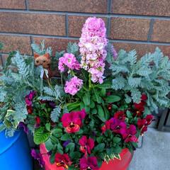 オイル缶/シルバーレース/ビオラ/ガーデニング/花のある暮らし/ガーデン雑貨/... 会社で出る廃材のオイル缶🥫 花を切り戻し…(2枚目)