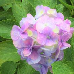 お出かけワンショット/紫陽花/雨のしずく/おでかけワンショット 花びらに雨のしずく。 晴れの日の紫陽花も…(1枚目)