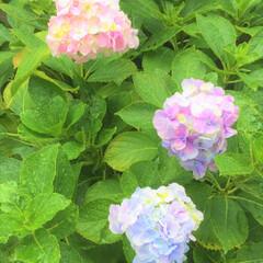おでかけワンショット/雨/紫陽花 雨が似合う花、といえば 紫陽花ですね。 …(1枚目)