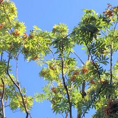 今日のお散歩/街路樹/ナナカマド/秋の気配 今日のお散歩。 街路樹のナナカマドが色づ…