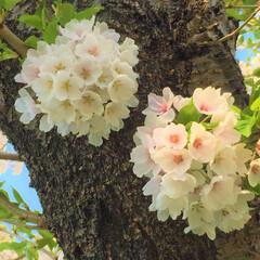 わたしのGW。/桜/札幌の桜はGWに咲く/わたしのGW わたしのGW。 札幌のGWは、桜の季節。…(1枚目)