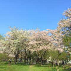 おでかけワンショット/桜/花見/北海道の桜 桜で有名な公園にて。 お花見気分で散策。…(1枚目)