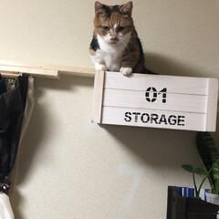ニャンコ同好会/ダイソー/猫 見ていただけの小町もいつのまにか箱のとり…