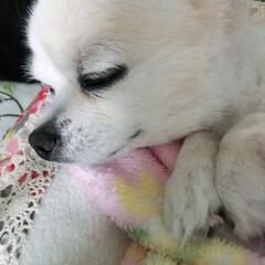 チワワ 私も一緒に寝たい!☺️😌