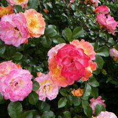「横浜の山下公園で開催されていたバラ園。 …」(1枚目)