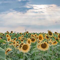 ヒマワリ畑/ひまわり/光芒/夏のお気に入り ヒマワリ畑に射す光。