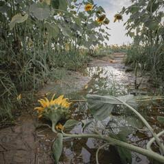 夏のお気に入り/花/ヒマワリ畑/ひまわり 今年の夏は雨が良く降りました。 いつもサ…