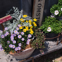 ナチュラルガーデン/ナチュラルガーデニング/サントリーフラワーズ/ガーデニング/ガーデン/庭づくり サントリーフラワーズの星空マムがたくさん…