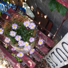 星空マム/サントリーフラワーズ/花/ガーデニングインテリア/naturalgarden/庭づくり/... サントリーフラワーズさんの星空マム🌸 薄…