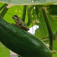 夏のお気に入り 胡瓜を収穫に行って見つけました