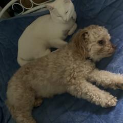仲良し/猫/犬/犬猫あるあるフォト/我が家のアイドル/暮らし/... 犬(長男)猫(二男)がベットで仲良く休憩…