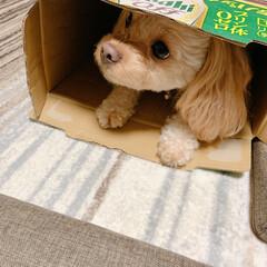 空き箱/我が家のワンコ/簡単/雑貨/暮らし 我が家のワンコ💕 ビールの空き箱を置いた…