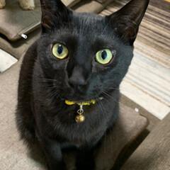 カメラ目線/我が家の家族/黒猫/我が家のアイドル/動物モチーフグッズ/おしゃれ/... 黒猫(三男)カメラ目線でカシャ☆ 後に写…