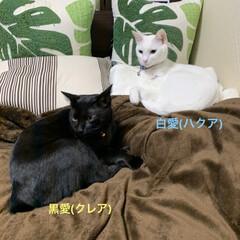 マイルーム/白黒マニア/愛猫/我が家の家族/リミアな暮らし/住まい/... ❤︎我が家の家族❤︎ 白猫ブルーアイ、白…
