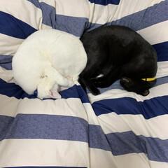 お昼寝/白猫/黒猫/我が家の愛猫/バレンタイン2020/住まい/... 我が家の愛猫くん。白猫のハクア・黒猫のク…