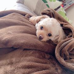 毛布巻き/ベットルーム/ワンコ/我が家のアイドル/我が家の家族/動物モチーフグッズ/... 我が家のワンコ。 まだまだ寒いのかな〜⁈…