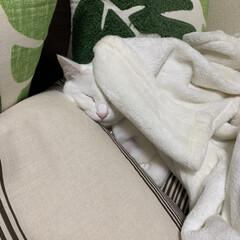 おやすみショット/我が家の愛猫/我が家の家族/リミアの冬暮らし/住まい/暮らし/... 夜ベットを見たら、ベットの枕と毛布で寝て…