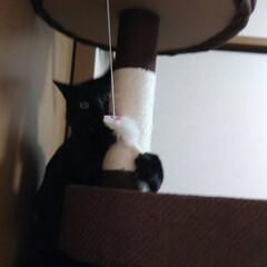 キャットタワー/おもちゃ/ネズミちゃんゲット/黒猫/我が家の家族/我が家のアイドル/... 我が家の黒猫(三男)がキャットタワーのネ…