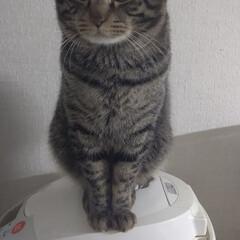 炊飯器/にゃんこ同好会/猫/ネコ/ペット/キジトラ/... 最近キッチンでの監視場所は炊飯器の上! …