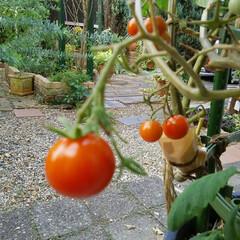 ミニトマト/家庭菜園 ミニトマト🎵 プランターでも作ってみまし…(2枚目)