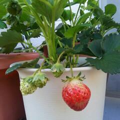 家庭菜園/いちご もうすぐ収穫~  プランターで作っていま…