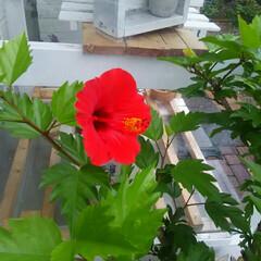 ガーデニング/ハイビスカス ハイビスカス🎵 今年初めての開花です、 …