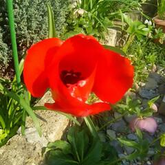 チューリップ/ガーデニング チューリップ  我が家のチューリップも咲…
