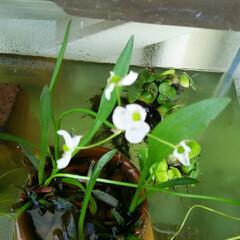 メダカ/ガーデニング メダカの水槽で花が咲いた🎵  白く小さく…