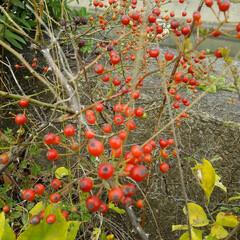 秋の実/シャリンバイ/ノイバラ 秋の実🎵  昼休みに堤防を散歩して発見 …