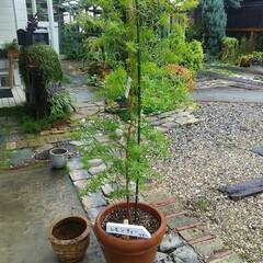 ガーデニング レモンツリー、パンパスグラス🎵 今日は庭…