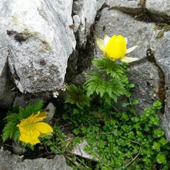 福寿草 春の花、山に自生する福寿草  元気をもら…(4枚目)