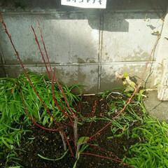 ガーデニング 植栽完了  ホームセンターで腐葉土、たい…(3枚目)