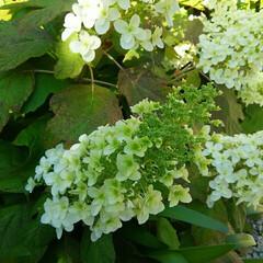 ミモザ/ガーデニング/カシワバアジサイ カシワバアジサイと今日の庭🎵 いい感じで…