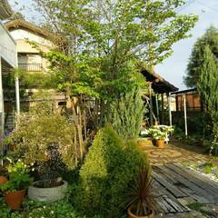 シンボルツリー/ヤマボウシ/ガーデニング ヤマボウシ  我が家のシンボルツリー も…