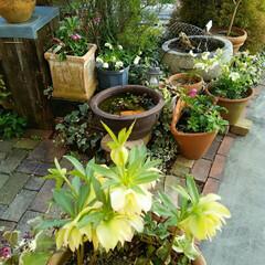 ガーデニング 今日の庭の花  いよいよ今日から春の陽気…