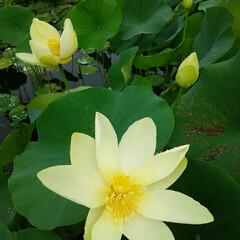 ガーデニング/ハス ハスの花🎵 うす黄色バージョン~  自宅…