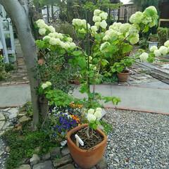 ガーデニング 今日の庭の花  オオデマリはよく水を欲し…