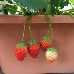 家庭菜園/いちご いちご収穫🎵  プランターで育ってくれて…