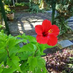 ガーデニング/ハイビスカス ハイビスカス🎵 夏の終りにまた咲いてくれ…