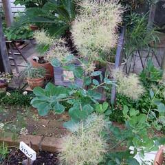 ガーデニング 今朝の庭🎵 ブルーベリーがいよいよ収穫出…(4枚目)