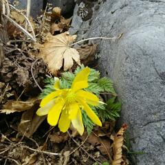 福寿草 春の花、山に自生する福寿草  元気をもら…