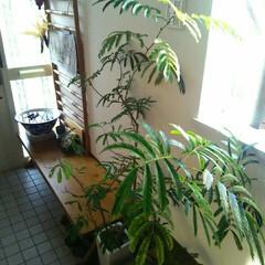 観葉植物/簡単レシピ 玄関  メダカ、観葉植物、いろいろありま…