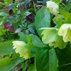 ガーデニング 今朝の庭の花たち🎵 もうすぐアジサイが咲…(2枚目)