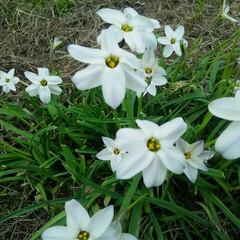 白い花 雑草の白い花  会社の構内にヒッソリと咲…
