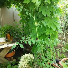 家庭菜園 トマト増殖とゴーヤ収穫🎵 トマトの脇芽を…