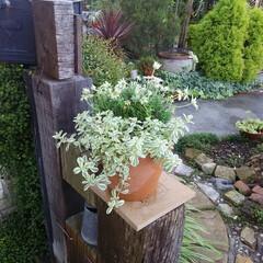 ズッキーニ/ガーデニング 今朝の庭🎵 ズッキーニの花 、 可愛いけ…
