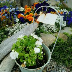 ガーデニング 今日の庭の花  昨日海で拾ってきた流木と…(1枚目)
